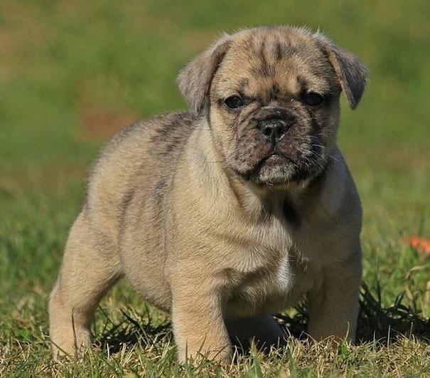 bulldogue-com-pug