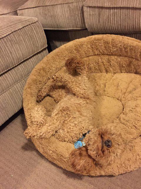 cachorrinho-peludo-camuflado-em-sua-cama