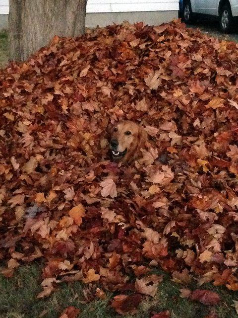 cachorro-camuflado-em-folhas