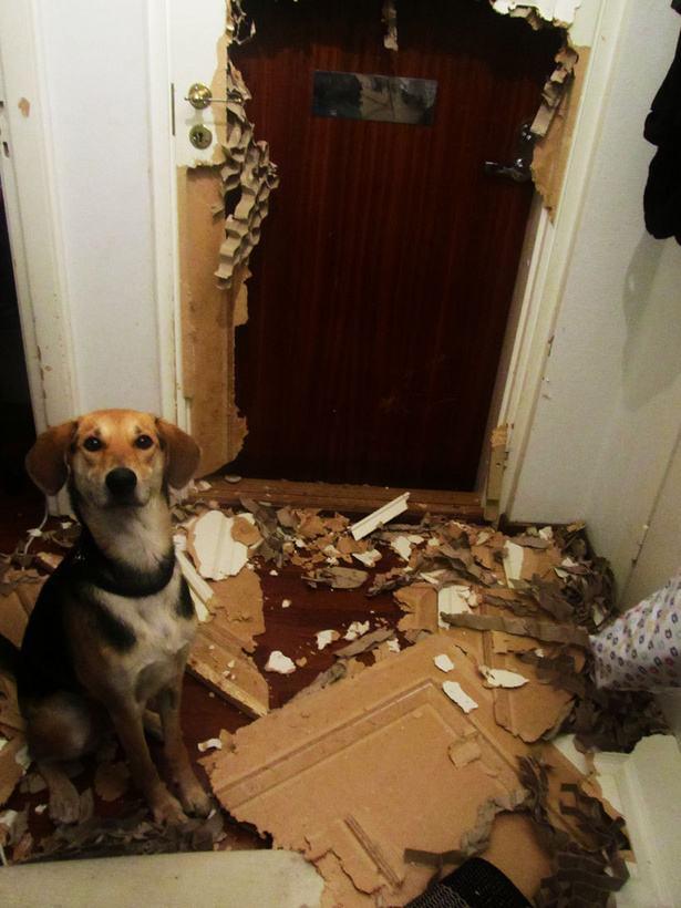 cachorro-cara-de-feliz-após-ter-destruido-porta