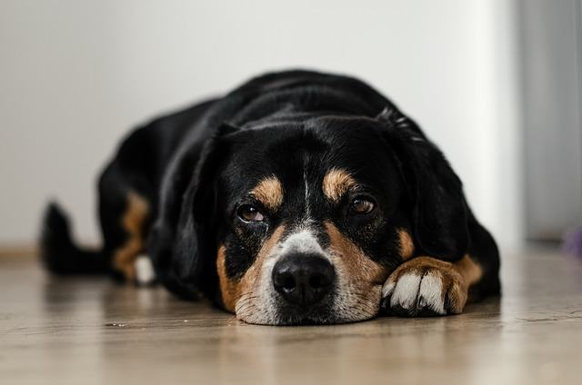 Cachorro com estômago sensível: sintomas e como tratar
