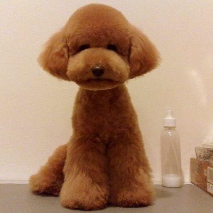cachorro-com-pelo-tosado-igual-a-pelucia