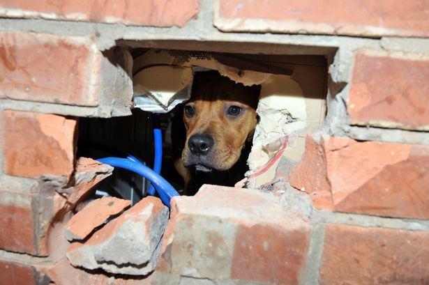 cachorro-ficou-preso-ao-enfiar-cabeça-dentro-de-parede