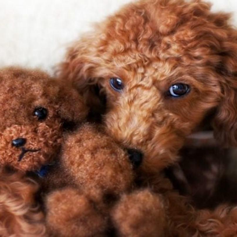 cachorro-igual-a-pelúcia