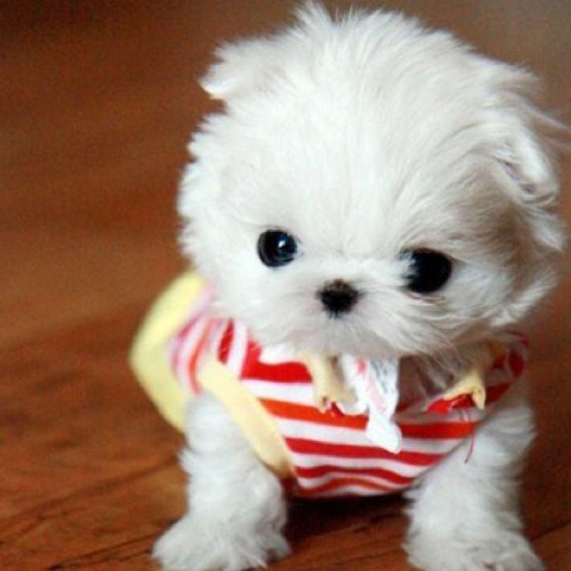 cachorro-pequenino-branco-parece-brnquedo