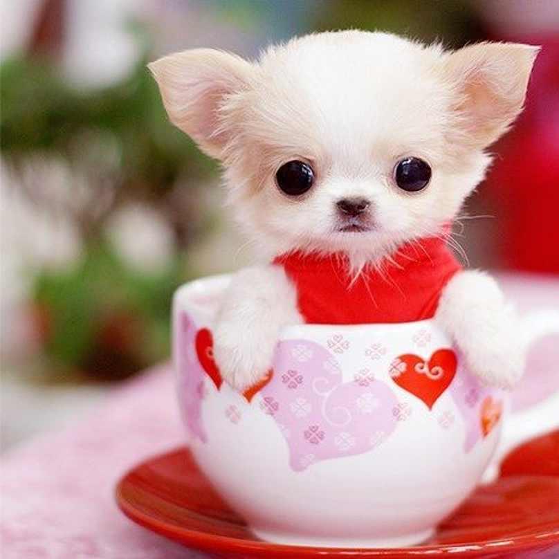 cachorro-pequeno-dentro-de-xícara