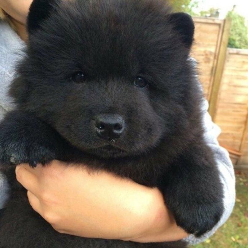 cachorro-preto-fofinho-igual-a-urso