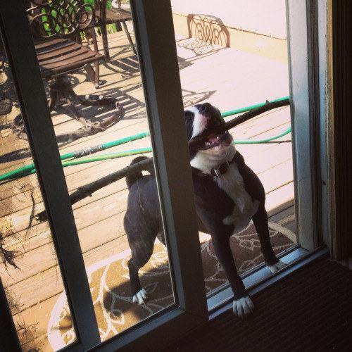 cachorro-tentando-passar-pela-porta-com-galho-grande-na-boca