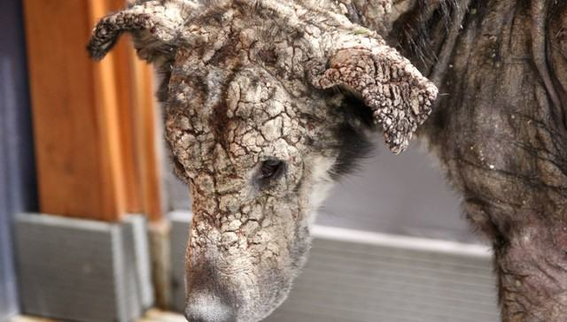 Cadela com pele petrificada ganha 'segunda chance' de vida