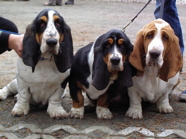 cao-basset-hound