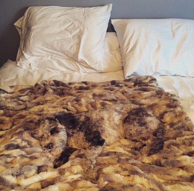 caozinho-dormindo-camuflado-em-cobertor