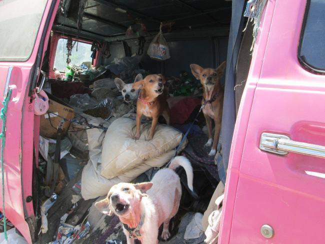 chihuahuas-em-van-cheia-de-lixo