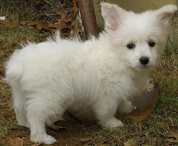 corgi-com-poodle-toy
