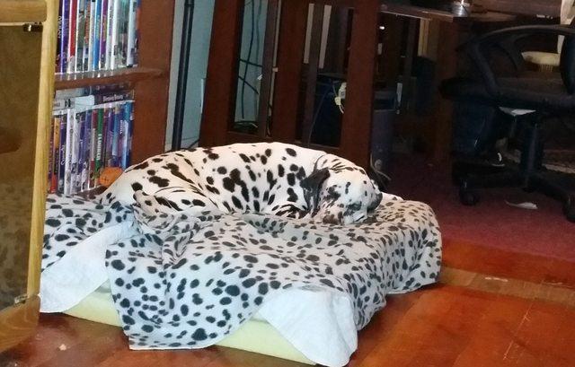 dalmata-camuflado-em-seu-cobertor