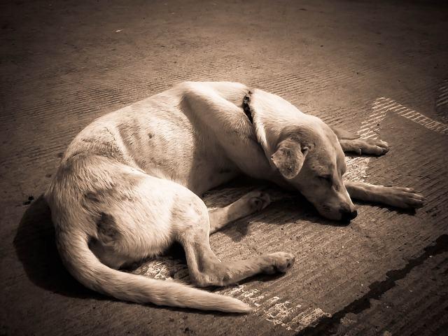 Já ouviu falar da doença erliquiose canina?