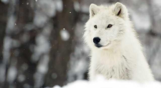 lobo-na-neve