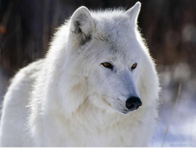 lobo-selvagem-branco