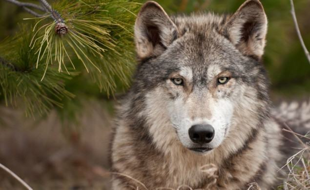 lobo-selvagem-cinza