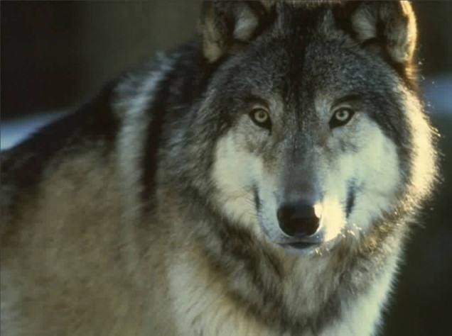 lobo-selvagem-grande