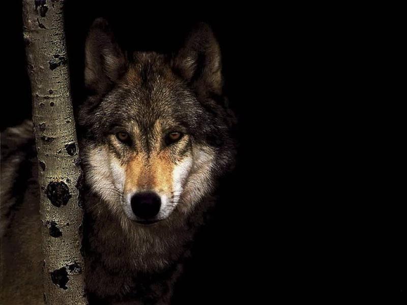 lobo-selvagem-misterioso2