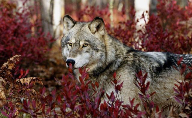 lobo-selvagem-na-mata-2