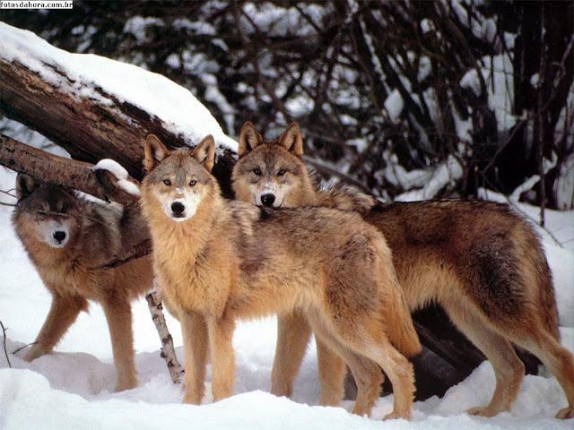 lobo-selvagem-no-gelo