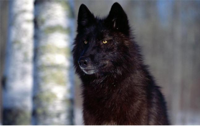 lobo-selvagem-preto2
