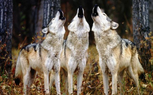 lobo-selvagem-uivando