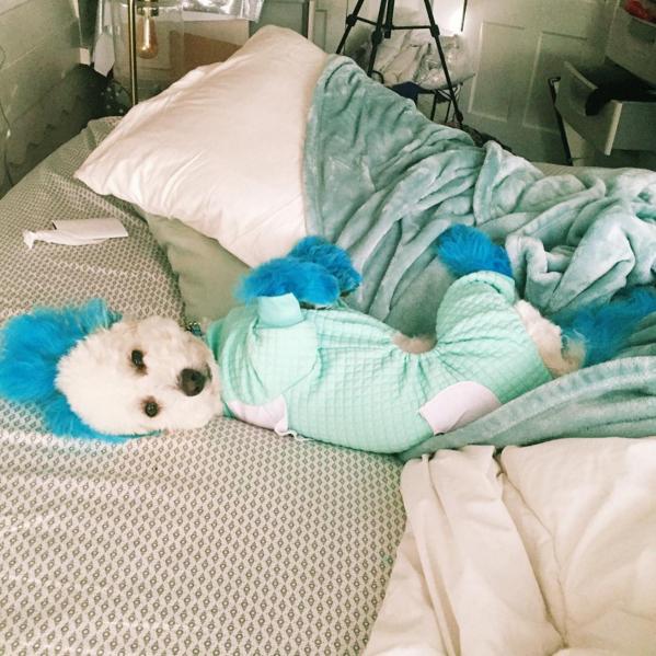 poodle-pelos-tingidos-agasalhada-na-cama