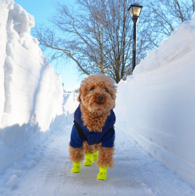 poodle-toy-passeando-no-gelo