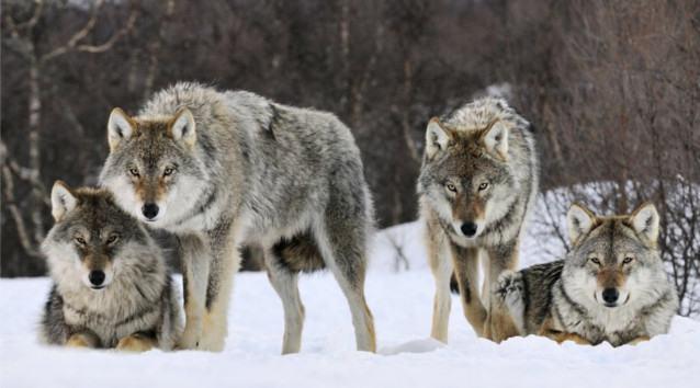 quatro-lobos-selvagens