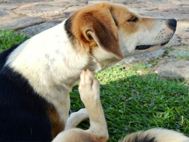 Receitas caseiras para remover pulgas e carrapatos dos cães