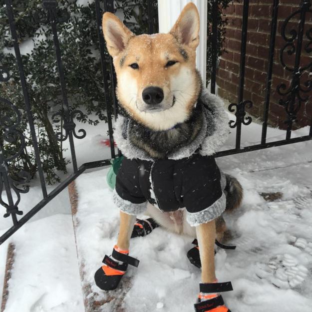 shiba-com-roupa-para-frio