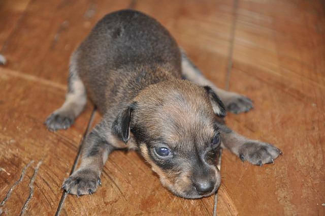 Sintomas e tratamento da parvovirose canina