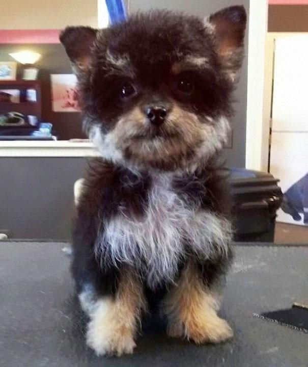 yorkshire-com-poodle