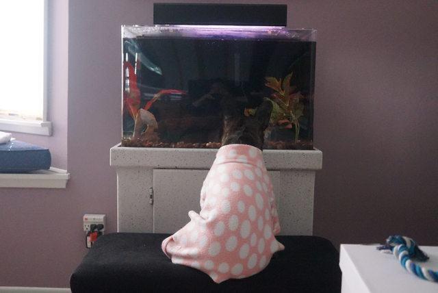 cadela-passou-feriado-de-pijamas-encarando-aquario