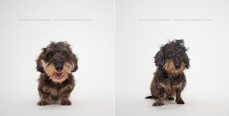antes-e-depois-banho-cachorro-peludo-mau-humorado