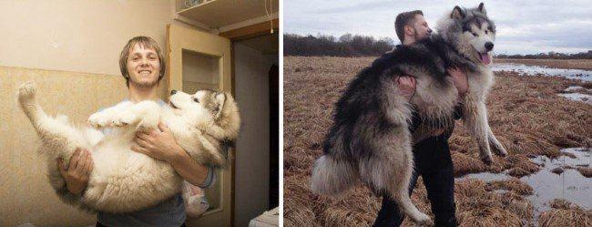 antes-e-depois-cachorros-husky