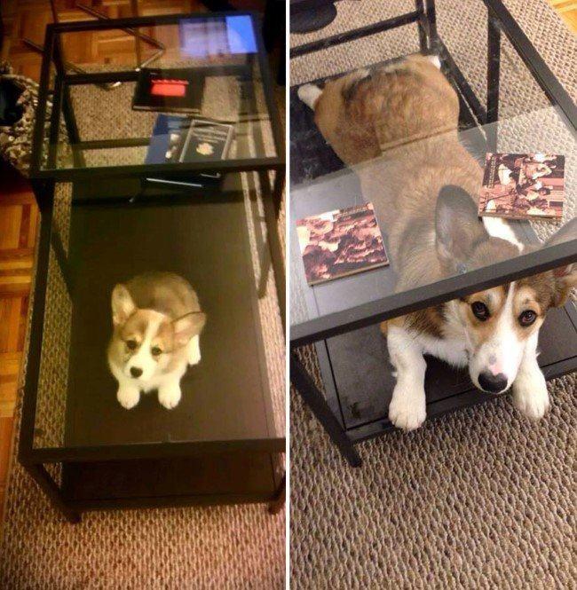 antes-e-depois-cachorro-debaixo-de-mesinha
