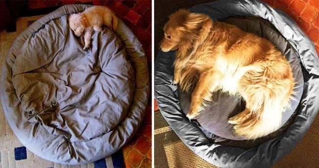 antes-e-depois-golden-retriever