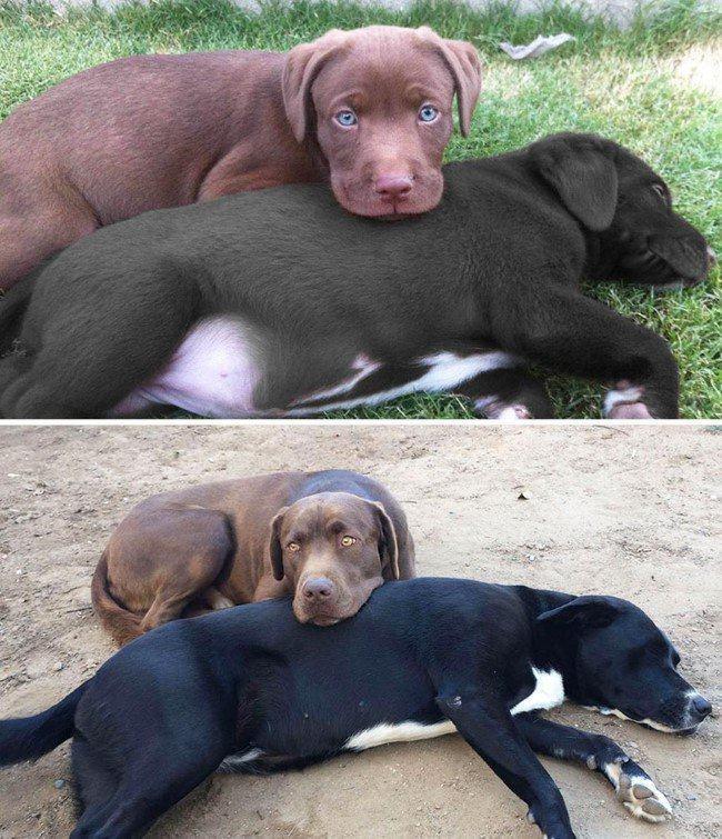 antes-e-depois-dupla-labradores
