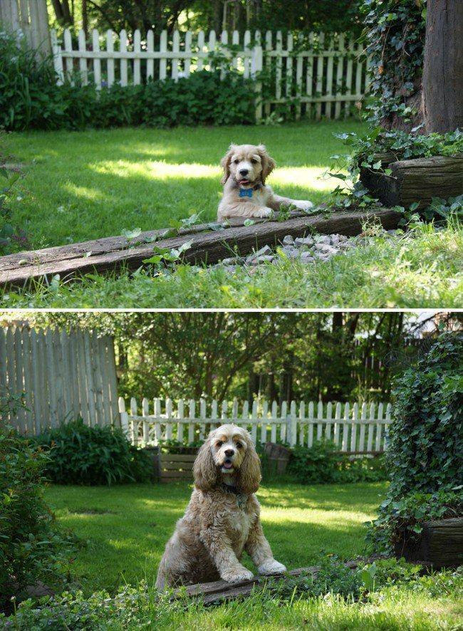 antes-e-depois-cachorro-peludo