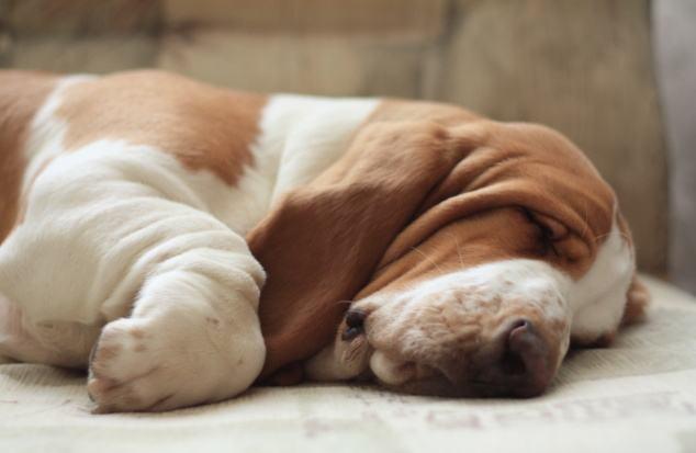 basset-hound-dormindo