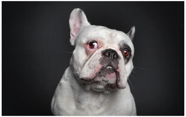 bulldog-human