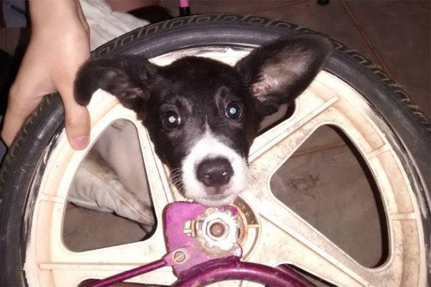 cachorro-cabeça-presa-em-roda-de-bicicleta