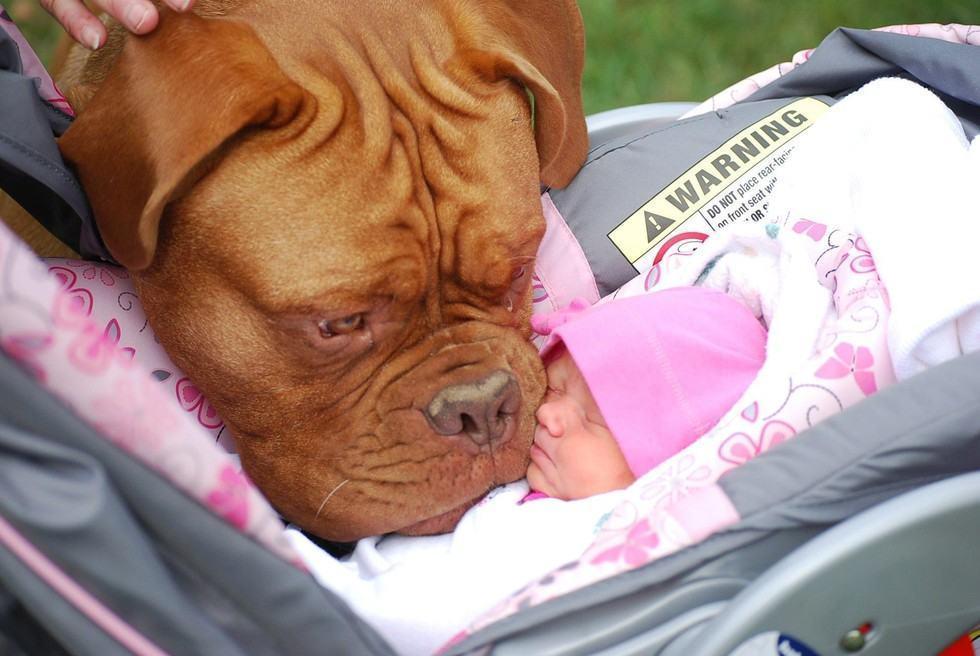 cachorro-grande-encarando-bebe