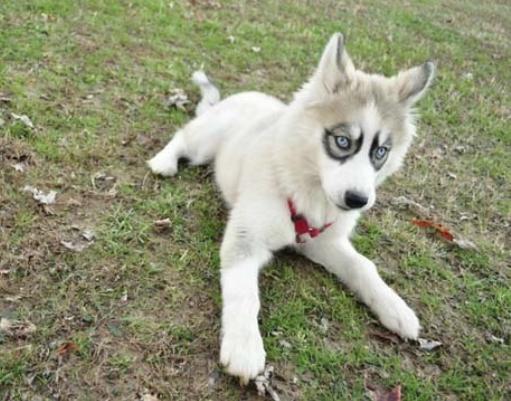 cachorro-marca-nascenca-mancha-ao-redor-dos-olhos