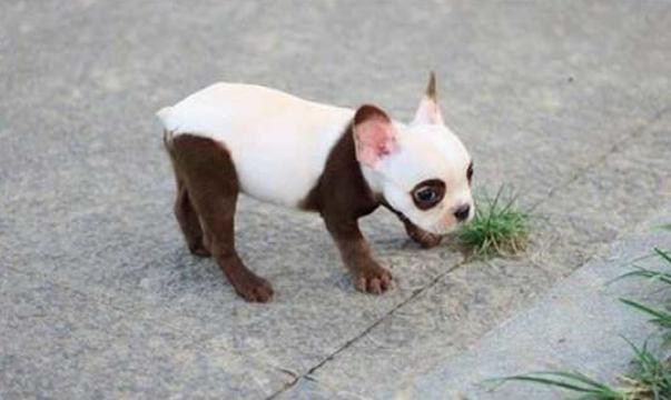 cachorro-marca-nascenca-panda