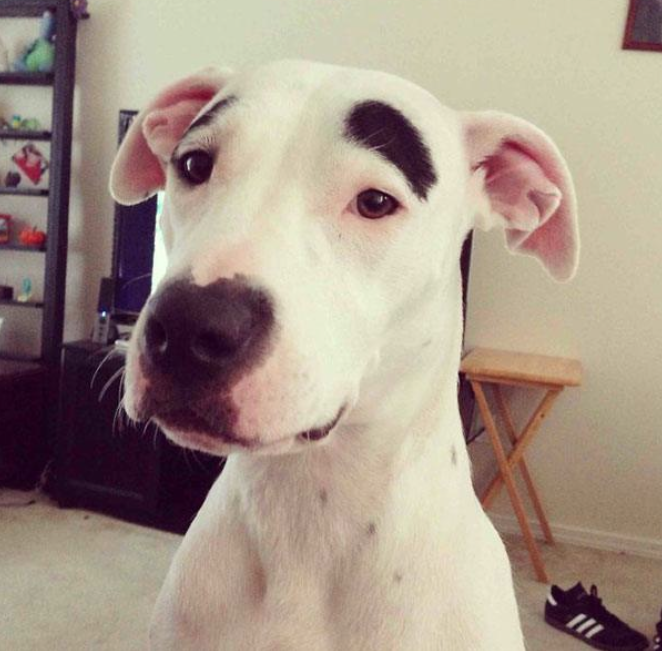 cachorro-marca-nascenca-sombrancelha