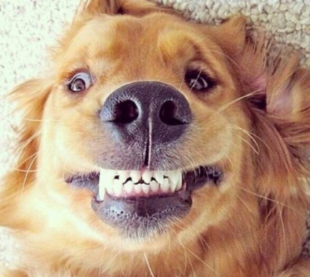 Resultado de imagem para cachorro sorrindo